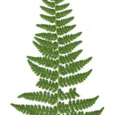 How to press Fern Leaves